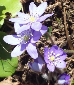 Blå blomst!